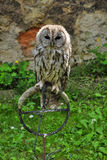 Night owl. Owl in captivity to stand Stock Photography