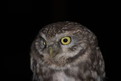 Night Owl. Closeup portrait of an owl Royalty Free Stock Images