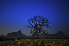 Night photgraphy of sunflowers field and dry tree branch against Stock Images