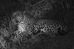 Night photograph of male leopard Royalty Free Stock Photography