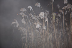 Night reeds in a fog Stock Photography