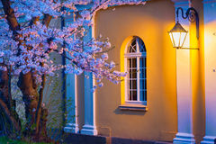 Night scene of blooming sakura illuminated by lamp Royalty Free Stock Images