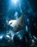 Kona manta ray dive. Night Scuba dive off of the kona coast to see manta rays royalty free stock photo