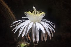Nocturnal photo of white cactus flower. Night shot of beautiful white cactus flower illuminated with artificial light Royalty Free Stock Image