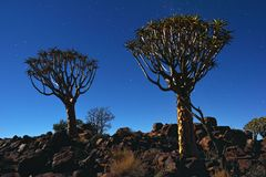 Quiver Tree Forest Royalty Free Stock Photos