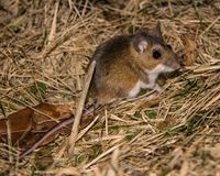 Night shot of a nocturnal wild house standing on brown grass turning towards the camera. Side view of a wild brown house mouse, Mus musculus. The rodent is Stock Images