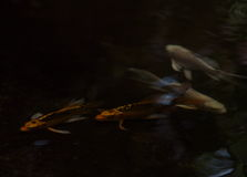 Night shot of small young long tail white silver yellow gold colour KOI fish Stock Photos