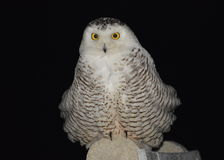 Night shot of Snowy Owl; Stock Images