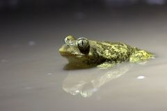 Night shot of a Syrian spadefoot Royalty Free Stock Images