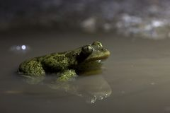 Night shot of a Syrian spadefoot Royalty Free Stock Photography