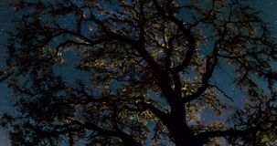 Night Sky Over Treetops. Star trails over oak treetop in this dark sky outdoors time lapse stock footage