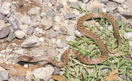 Night snake. Hypsiglena torquata, commonly known as the , is a species of rear-fanged colubrid, commonly found in southern and western United States Stock Photos