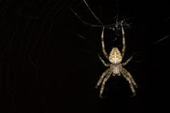 Night Spider Stock Photos