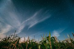 Night Starry Sky Above Green Maize Corn Field Plantation In Summer Agricultural Season. Night Stars Above Cornfield In