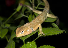 Night Time Lizard Stock Images