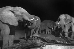 Night time view of elephants drinking from camp pool Royalty Free Stock Images