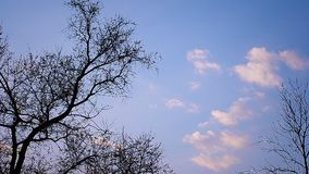 Night tree against the clear sky. The tree in the evening against the clear blue sky stock footage