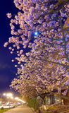 Night urban view with japanese cherry blossom Royalty Free Stock Image