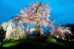Night view of the famous Maruyama Park in Kyoto, Japan and bloss. Oms of a giant sakura tree in Kyoto Japan. Beautiful pink cherry blossoms at nightfall in Kyoto Stock Photography