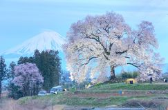 Night view of illuminated Wanitsuka Sakura a 300 year old cherry tree on a hill with snow-capped Mount Fuji in the background stock photo