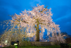 Night view of maruyama park. Cherry Blossom in Maruyama Park, Kyoto, Japan Royalty Free Stock Photography