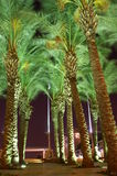 Night view - palm trees. Palm trees in Jerusalem -green and brown Royalty Free Stock Images