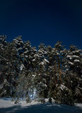 Night view of snow-covered fir trees Royalty Free Stock Photography