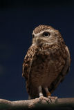 Night Watcher. Alert Owl looking for prey.  Background is blue/black simulating night Royalty Free Stock Image