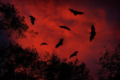 Night wildlife with bats. Giant Indian Fruit Bat, Pteropus giganteus, on red sunset dark sky. Flying mouses in the nature habitat, Royalty Free Stock Photography
