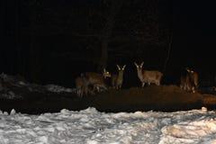 Night wildlife of deer in winter Royalty Free Stock Images