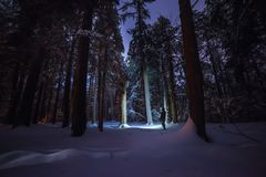 Night winter forest. Night winter forest and the silhouette of a man among trees. High coniferous trees in the snow retreating into the sky Stock Photo