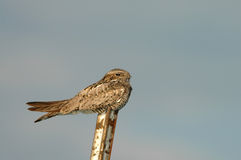 NightHawk Royalty Free Stock Photo