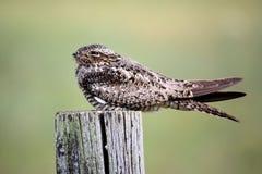 Nighthawk comum Fotografia de Stock