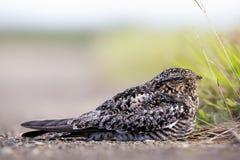 Nighthawk comum (menor do Chordeiles) Imagens de Stock