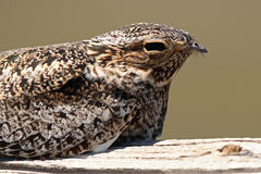 Nighthawk Daytime Perch Royalty Free Stock Photography