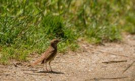 Nightingale με την κάμπια Στοκ Εικόνες