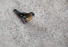 Nightingale που περπατά στο μονοπάτι στο πάρκο Στοκ φωτογραφία με δικαίωμα ελεύθερης χρήσης