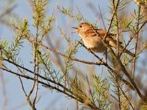 nightingale τραγουδώντας Στοκ φωτογραφία με δικαίωμα ελεύθερης χρήσης