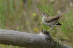nightingale stock afbeeldingen