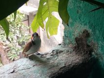 nightingale stock foto's