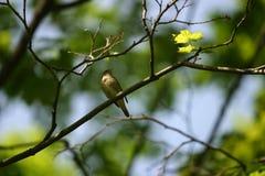 Nightingale Royalty Free Stock Image