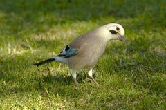 Nightingale Fotografia Stock Libera da Diritti