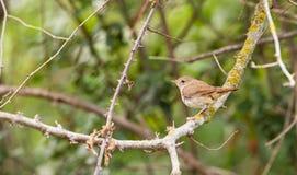 Nightingale Royalty Free Stock Photo