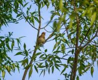 nightingale Royalty-vrije Stock Fotografie