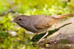 nightingale Royalty-vrije Stock Afbeeldingen