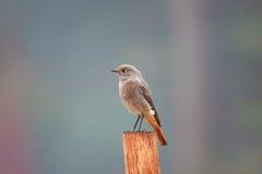 nightingale Immagine Stock Libera da Diritti