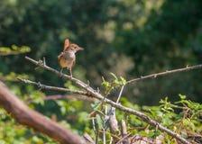 nightingale royalty-vrije stock foto