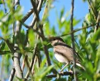 Nightingale bird Stock Image