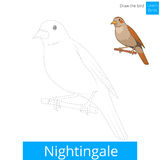 Nightingale bird learn to draw vector Royalty Free Stock Image