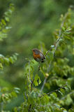 Nightingale on a branch. City Park of Cetinje, Montenegro Royalty Free Stock Photos